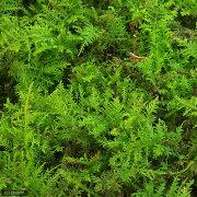 (観葉植物)苔 シノブゴケ 4パック分