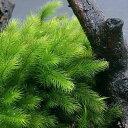 (観葉植物)苔 ヒノキゴケ 2パック分