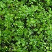 (観葉植物)苔 コツボゴケ 2パック分