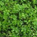 (観葉植物)苔 コツボゴケ 4パック分