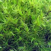 (観葉植物)苔 シッポゴケ 2パック分