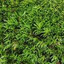 (観葉植物)苔 ヤマゴケ(ホソバオキナゴケ・アラハシラガゴケ) 2パック分