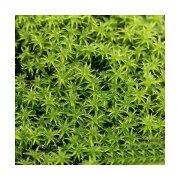 (観葉植物)苔 スナゴケ 4パック分
