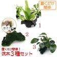 (水草 熱帯魚)置くだけ簡単 水草付き流木3種セット(ミクロ・アヌビアス・モス)