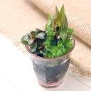 (水草)寄せ植えカラーグラス ピンク(水上葉)(無農薬)(1ポット分) 北海道航空便要保温