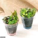 (水草)寄せ植えカラーグラス ピンクとブルーのセット(水上葉)(無農薬)(1ポット分)