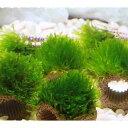 (水草)育成済 ライフマルチ(茶) ジャイアント南米ウィローモス(無農薬)(2個)