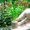 (水草)ライフマルチ(茶) ピグミーチェーンサジタリア(無農薬)(1個)