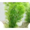 (水草)メダカ・金魚藻 お一人様3点限り ライフマルチ(茶) カボンバ(3個)+1個 北海道航空便要保温