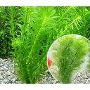 (水草)メダカ・金魚藻 お一人様1点限り ライフマルチ(茶) カボンバ(3個)+アナカリス1個おまけ