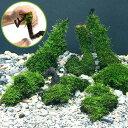 (水草)巻きたて ジャイアント南米ウィローモス 流木 SSサイズ(無農薬)(3本)