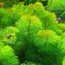 (水草)メダカ・金魚藻 イエローカボンバ 3束分