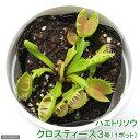 (食虫植物)ハエトリソウ クロスティース3号(1ポット)