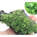 (水草)巻きたて オーストラリアン ノチドメ流木 Sサイズ(約15cm)(無農薬)(1本) 北海道航空便要保温