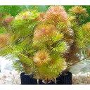 (水草)メダカ・金魚藻 マルチリングブラック(黒) レッドカボンバ(1個) 北海道航空便要保温