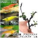 (エビ 水草)チャームのエビの木 ver.トリオ(9匹)(各種3匹) 北海道航空便要保温