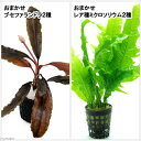 (水草 熱帯魚)おまかせブセ2種・レア種ミクロ2種セット(無農薬)(1セット)