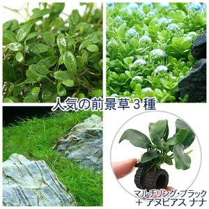 (水草)人気の前景草3種セット(水上葉)+マルチリン