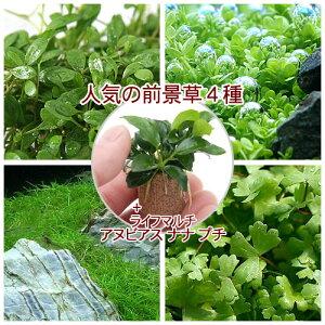 (水草)人気の前景草4種セット+ライフマルチ(茶)