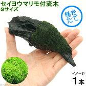 (水草)巻きたて セイヨウマリモ付 流木 Sサイズ(無農薬)(1本)
