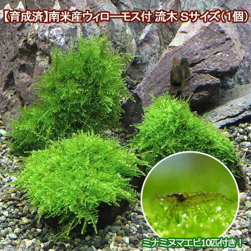 (エビ 水草)育成済 南米ウィローモス 流木 SSサイズ(8cm以下)(無農薬)(1本)+ミナミヌマエビ(10匹)