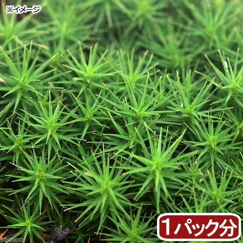 (観葉植物/苔)スギゴケ 1パック分の商品画像