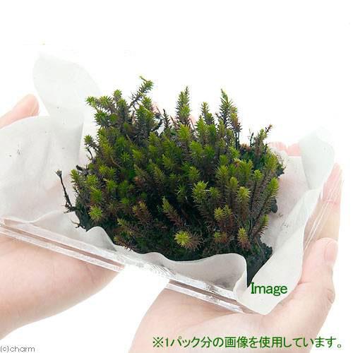 (観葉植物/苔)スギゴケ 1パック分の紹介画像2