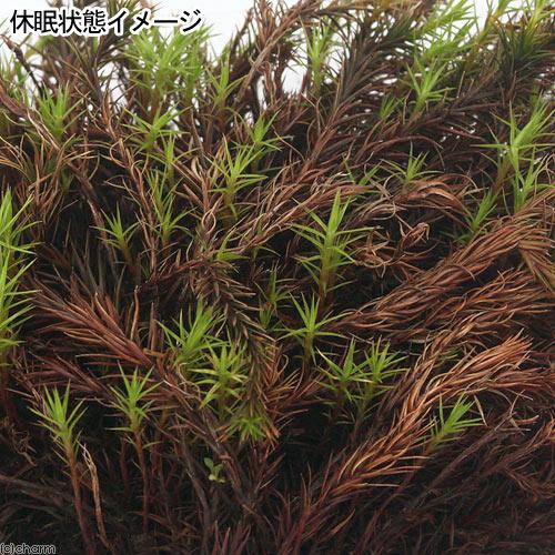 (観葉植物/苔)スギゴケ 1パック分の紹介画像3