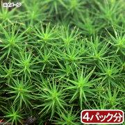 (観葉植物)苔 スギゴケ 4パック分