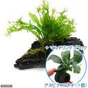 (水草)ミクロソリウム ウェンディロフ付 流木 SSサイズ(1本) +マルチリングブラック(黒) アヌビアスナナ(1個)
