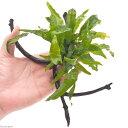(水草)ミクロソリウム プテロプス ナロー付 枝状流木 Sサイズ(約10cm〜)(1本)