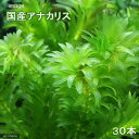 (水草)メダカ・金魚藻 国産 無農薬アナカリス(30本) 北海道航空便要保温
