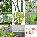 (ビオトープ/水辺植物)おまかせ水辺植物 後景草5種セット...