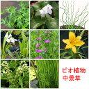 (ビオトープ/水辺植物)おまかせ水辺植物 中景草1種(1ポット)