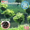 (水草)巻きたて オーストラリアン ノチドメ バルーン(無農薬)(1個) +おもり1個