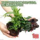 (水草)アヌビアスナナ&ミクロソリウム2種付流木 Lサイズ(1本)