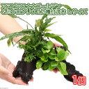 (水草)アヌビアスナナ ゴールデン&ミクロソリウム2種付流木 Lサイズ(1本)