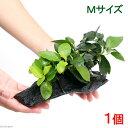 (水草)アヌビアスナナ&ゴールデン 流木付 Mサイズ(約20cm)(1本)