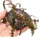 (水草)巻きたて ハイグロフィラ ピンナティフィダ付 風山石(8〜12cm)(無農薬)(1個)