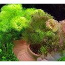 (水草)メダカ・金魚藻 タコツボW レッド&イエローカボンバ(1個)