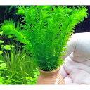 (水草)メダカ・金魚藻 タコツボミニ アナカリス(輸入品)(1個) 北海道航空便要保温