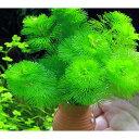 (水草)メダカ・金魚藻 タコツボミニ カボンバ(1個)