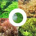 (水草)ロタラミックス4種 20本+ヘアーグラスショート(1束)(水上葉)(無農薬) 北海道航空便要保温