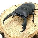 (昆虫)スラウェシヒラタクワガタ スラウェシ パロロ産 成虫(WD)75〜79mm(1ペア)