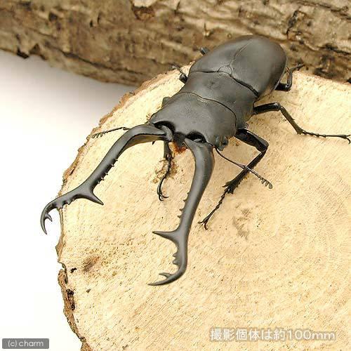 (昆虫)ギラファノコギリクワガタ フローレス産 成虫 95〜99mm(1ペア)