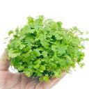 (水草)育成済 オーストラリアン ノチドメムーン Mサイズ(無農薬)(1個)