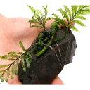 (水草)ボルビティス ヒュディロティ 風山石 Sサイズ(約10cm)(3個)
