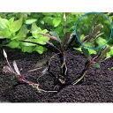 (水草)巻きたて おまかせブセファランドラ 枝状流木 Sサイズ(形状おまかせ 約15cm)(無農薬)(1本)