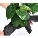 (水草)アヌビアス バルテリー 流木付 Lサイズ(約25cm〜)(1本)