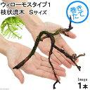 (水草)巻きたて ウィローモスsp.タイプ1 枝状流木 Sサイズ(無農薬)(1本)